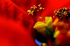 plant macro heart poinsettia flowerporn