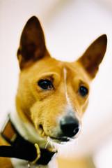 Happy Holidays! from simon (TommyOshima) Tags: dog simon 50mm olympus basenji zuiko om2 f12 agfavista