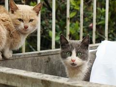 kim bunlar (pashazade) Tags: cats trkiye kedi p trkiyecumhuriyeti eyeofthecat gzelleri