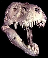 Sue skull model
