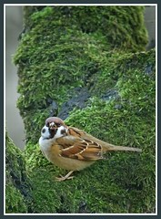 Sparrow (hvhe1) Tags: bird nature animal animals wildlife sparrow housesparrow interestingness86 abigfave hvhe1 hennievanheerden