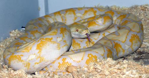 Lavender albino tiger reticulated python - photo#7