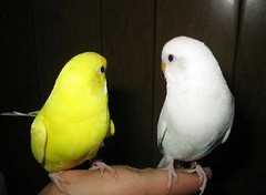 Oooh, is that a wall!? Cool! (Stephie189) Tags: pets white bird birds yellow wall angel hand budgie parakeet