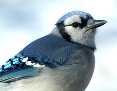 The Winter Blues (nature55) Tags: blue snow cold germantown nature birds wisconsin outdoors bravo wildlife aves explore ornithology specnature animalkingdomelite nature55 karmafavorite goldstaraward