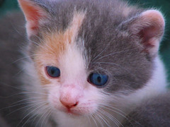 Baby Aprillee (Tabbie-cats) Tags: new light baby pets color cute animals cat canon happy interesting furry kitten day sweet great adorable 100v10f calico cc100 kittenmagazine kittysuperstar kissablekats impressedbeauty kittyschoice