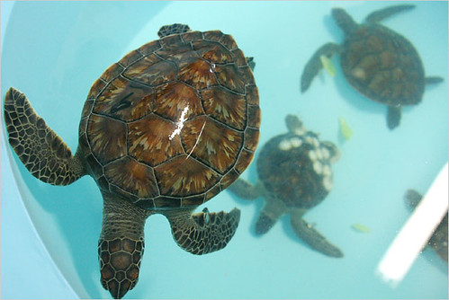 Juvenile green sea turtle, Chelonia mydas , rescued from a shallow bay ...