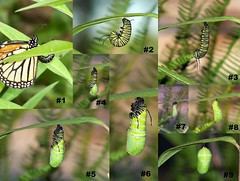 Monarch Forming Chrysalis Collage