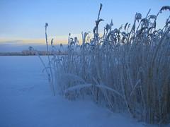 More snow (Vaeltaja) Tags: blue winter sky lake snow nature suomi finland scenery january oulu lumi talvi maisema tammikuu luonto bulrush jrvi kaislat sininen taivas abigfave impressedbeauty