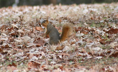 fox squirrel 02