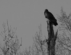 The Vantage Point (K. W. Sanders) Tags: blackandwhite bw nature birds animals geotagged canon20d perch vulture turkeyvulture canon400mmf56l