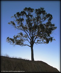One Tree Hill (westrock-bob) Tags: blue sunset sky copyright cliff sun tree face grass leaves silhouette rock proud gum photography one evening warm mood time shots low authority hill capital australian bob australia dirt canberra eucalyptus setting gumtree mighty act sturdy allrightsreserved bold westrock territory onetreehill cuthill colorphotoaward westrockbob vosplusbellesph