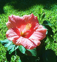 Hibiscus (L.Lukatsky) Tags: pink light sun color green nature colors grass flora hibiscus hibisco