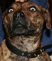 Look into MY eyes,not around MY eyes www.caseisaltered (Bay M) Tags: dog rocky eye eyes staffy pub richardwisbey homemade richie wisbey altered richard rich richiewisbey richwisbey flickr wisbeyflickr wisbeyphotography