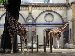 Giraffes (C) 2006