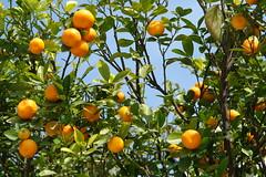 God's blessing (SHAH BABA) Tags: pakistan sky orange tree green baba shah islamabad