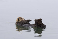 sea-otter-morro-bay_09