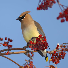 Cedar Waxwing Berry Paradiso (Fort Photo) Tags: red bird nature birds animal wonderful bravo colorado berries fort quality wildlife birding fortcollins ave co collins ornithology waxwing cedarwaxwing avian 2007 mountainash bombycillacedrorum passeriformes naturesfinest blueribbonwinner splendiferous supershot magicdonkey 50faves featheryfriday birdphoto outstandingshots specnature clff specanimal bombycillidae animalkingdomelite abigfave anawesomeshot supremeanimalphoto colorphotoaward impressedbeauty avianexcellence flickrdiamond bratanesque