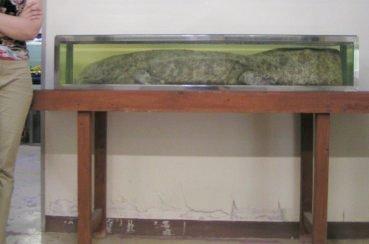 salamandre geante du japon (4)