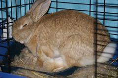 Baby bunnies drinking! (Sjaek) Tags: cute rabbit bunny bunnies milk babies nest feeding sweet drinking adorable fluffy pip rabbits