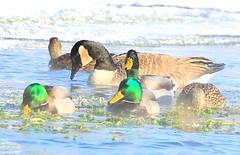 mallards & Canada goose at Decorah Fish Hatchery IA 854A5428 (lreis_naturalist) Tags: mallards canada goose decorah fish hatchery winneshiek county iowa larry reis