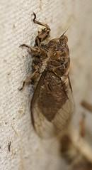 Cicada on the fence (Beth_Kin) Tags: cicada fence warwick perth westernaustralia ticktock