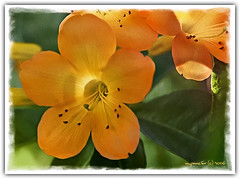 Room Full of Necter (Michael Pancier Photography) Tags: flowers orange macro yellow closeup flora bloom fineartphotography naturephotography seor butterflyworld naturephotographer abigfave floridaphotographer pancier michaelpancier michaelpancierphotography wwwmichaelpancierphotographycom seorcohiba