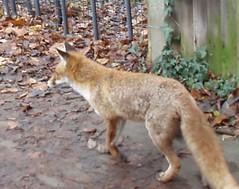 Fox. Not in Socks.