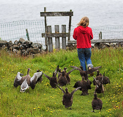 Walk down to the ocean (Rn) Tags: flowers red people green bird grass birds yellow square iceland ducks 2006 aves goose ran sland sland flatey rn magnsdttir mywinner rnmagnsdttir ranmagnusdottir ranm