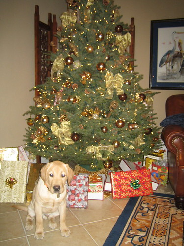 yellow labrador retriever - Christmas