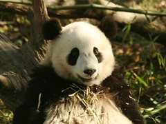 someone needs a bib (somesai) Tags: animal animals smithsonian panda endangered pandas butterstick