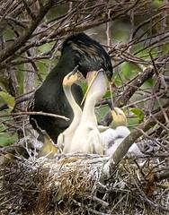 Anhinga-Nest (gwkommick) Tags: bestnaturetnc06