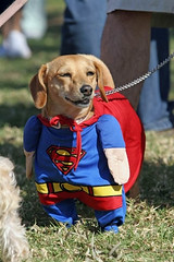 US-HALLOWEEN-DOGS COSTUME PARADE (chrisdabao) Tags: dog pet halloween vertical unitedstates contest parade longbeach offbeat moviecostume