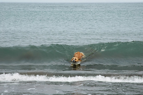 corgi swimming
