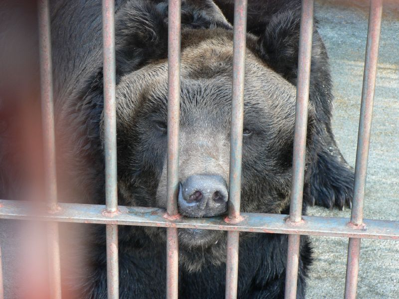 Sad bear in cage