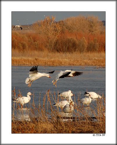 snow geese 10