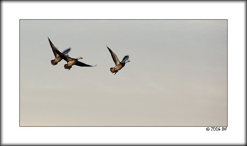 snow geese 13 grey sky