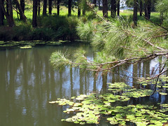 "Keith's Farm Waterhole 05 (emblatame (Ron)) Tags: trees light brown color colour reflection green nature water beautiful beauty grass leaves creek reflections river wonder botanical landscapes perfect pretty colours peace lily view farm peaceful australia calm queensland tropical vegetation fir serene lillies stillness tropics perfection undergrowth shawow water"" trees"" malanda scenes"" ""still ""water lilies"" ""atherton tablelands"" connifers ""fir"