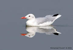 Slender-Billed (dawey [Mohammad Alhameed]) Tags: bird canon reflections canon20d  100400mm picturecollection vwc slenderbilled  canon100400mm kuwaitwildlife missingcorrectcanoneflenstag  kuwaitvoluntaryworkcenter  photovwc kuwaitvwc