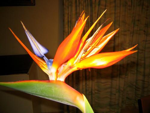 Bird-of-paradise flower ( Strelitzia reginae )