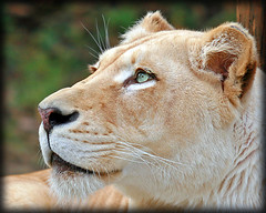 contemplative (jaki good miller) Tags: animal cat zoo interestingness bravo lion explore exploreinterestingness jakigood creature contemplative lioness animalkingdom top500 explorepage explored outstandingshots flickrsbest specnature explorepages specanimal animalkingdomelite specanimalphotooftheday supremeanimalphoto impressedbeauty superbmasterpiece specanimal2006photooftheyear frhwofavs