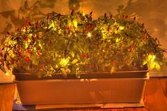Weihnachts-Chili, die alterative zu Last X-Mass! (TIAN@OTF) Tags: xmas weihnachten essen pentax fb hamburg pflanzen ds le chilli dri istds hdr pentaxistds langzeitbelichtung scharf ultimateshot feuerchen teufelszeug tianotf ah