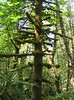 Mossy Tree - Southwest Washington (pomegranatecreations) Tags: bestnaturetnc06