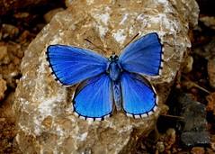 Polyommatus (Lysandra) bellargus (.Bambo.) Tags: macro fauna explore bichos mariposa teruel insecto aragón polyommatus lepidóptero ibérica lysandra bellargus linaresdemora sierradegúdar licénidos