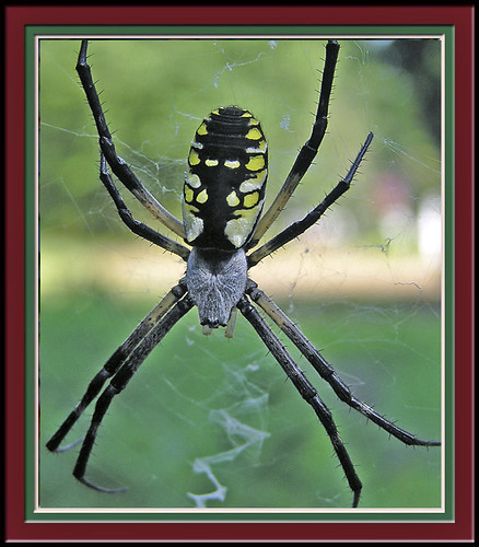 unknown spider framed