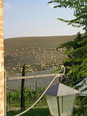 Grazing sheep, near Cuna, Tuscany (II) (Conlawprof) Tags: italy italia sheep farm olympus tuscany toscana livestock olympusc5060 c5060 cuna