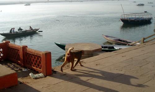 Monkey walking on the ghat