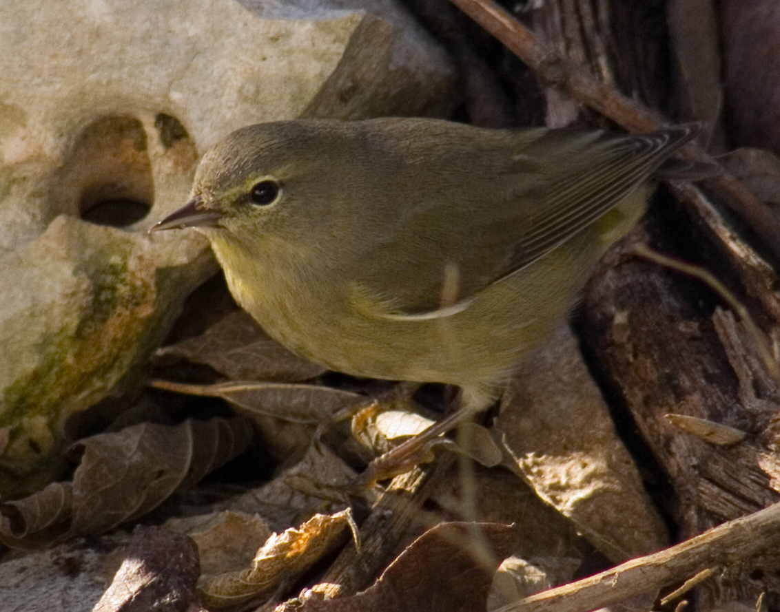 Orange-crowned warbler 1