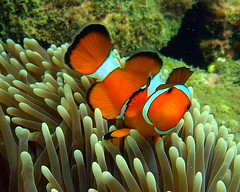 Clownfish - Koh Ngai, Thailand (_takau99) Tags: ocean trip travel sea vacation orange holiday fish macro uw nature water topv111 coral topv2222 thailand island topv555 topv333 nikon marine asia southeastasia underwater nemo indian topv1111 topv999 indianocean topv444 dive january diving newyear topv222 resort snorkeling clownfish anemone thai tropical coolpix topv777 s1 nikoncoolpixs1 hai topv3333 topv666 topf10 anemonefish trang 2007 andaman andamansea kohai topv888 nikoncoolpix topf5 topf20 amphiprionocellaris ocellaris coolpixs1 amphiprion clownanemonefish kohngai ngai kohhai takau99 pomacentridae kohngairesort