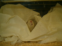 Rat sniffing in its cage (jepoirrier) Tags: male rat cage environment sniff bedding dawley sprague enrichment