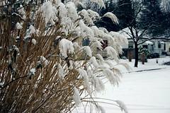 Grasses con snow